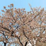 みやもも桜_003