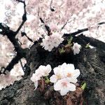 みやもも桜_010
