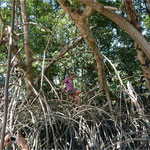 Balade dans la forêt de palétuviers