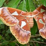 Papillon quatre fenêtre
