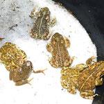 Grauer Laubfrosch und Kreuzkröten, Foto: D. Altenfeld