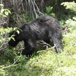 Und nochmal ein Schwarzbär. Das ist heute echt ein Glückstag.