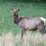Aha! Ein Elch! Aber mit Markierung im Ohr, also nicht so richtig Wild...