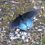 viele Schmetterlinge gibts hier...