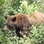 Oh, nach dem Schwarzbär und dem Grizzly kommt uns jetzt auch noch ein Braunbär unter die Augen...
