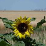 Eine Sonnenblume im Kornfeld...