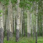 Die Wurzeln dieser Bäume können tausende von Jahre alt werden...