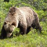 und plötzlich unser ersten Grizzlybär!