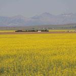 Das Letzt was wir in Kanada sehen, sind die Rapsölfelder. Jetzt gehts weiter Richtung Yellowstone. Bald gibts mehr...