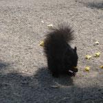 Ein schwarzes Eichhörnchen am Pop Corn futtern...
