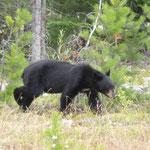 Und schon begegnet uns unser erster Schwarzbär in Jasper.