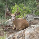 Ein Hirsch der uns gespannt beobachtet...
