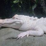 und ein Albino Alligator...