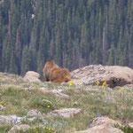Ein etwas grösseres Expemplar nahe dem Gipfel....
