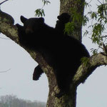 diese Bärenmutti macht es sich mit ihren Kleinen auf dem Baum gemütlich und beobachtet uns...