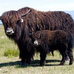 Gansu yak
