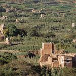 coltivazione di qat