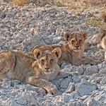 Löwenbabys im Etosha Nationalpark