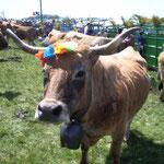 vache Aubrac en transhumance