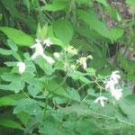 白山はハクサンと名がつく高山植物が豊富です