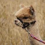 Ein Alpaka im Kornfeld, ..., denn es ist Sommer ...