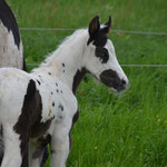 """Chilula Tatonka"", Stute, geb.05/2013, black tovero , homozygot tobiano, aus der Paint Horse Stute ""Cathy Doll Mount"", Züchter Stormy Corner Ranch"