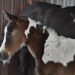 """""""Oshanees Yakari"""", Stute, geb.03/2013, bay homozygot tobiano, aus der Paint Horse Stute """"Sundays Hope for Cash"""", Züchter Diana Heinrichsen"""