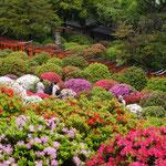 Azaleenblüte/Nezu-Schrein