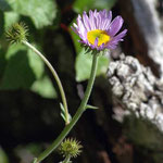 Tall Purple Fleabane