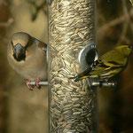 Kernbeisser Weibchen und Zeisig