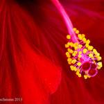 Hibiskusblüte - Makro