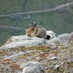Una marmotta vicino al sentiero