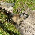 Marmotta vicino al Lago di Tom