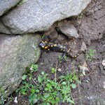 Salamandra sul sentiero