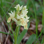 Orchide sambucina