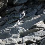 Le pernici mettono il manto invernale