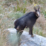 Bel camoscio nella Valle di Cugnasco