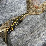 Salamandra sul sentiero......