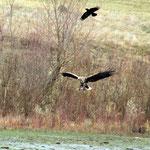 Seeadler und Kolkrabe (Foto: Wolfgang Riesenberg)