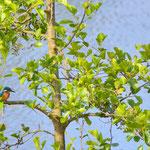 Eisvogel (Foto: Hartmut Schrader)