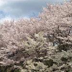 ソメイヨシノとオオシマザクラ(白い花)
