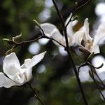 タムシバの花(いい匂い)
