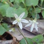 タニギキョウの花