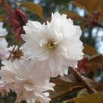 日吉桜の花