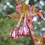 日吉桜の蕾