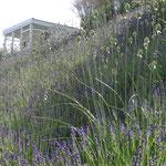 Lavandula angustifolia 'Hidcote', kompakt und robust