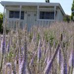 Veronicastrum virginicum 'Lavendelturm', raumteilendes Schwebfliegenparadies