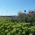 Sedum 'Herbstfreude', Echinops ritro 'Veitch´s Blue'