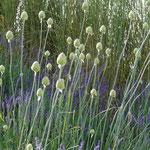 Allium spaerocephalon und Lavendel - zwei, die sich mögen