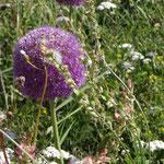 Allium giganteum in der Blumenwiese